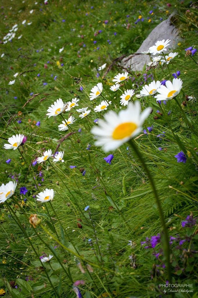 Bergwiesenblumen / alpine meadow flowers